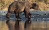 Reflections (wyrickodiak_9) Tags: kodiak alaska brown bear grizzly sow cubs fishing river island mammal wildlife apex predator