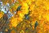 Bokeh des perruches. (aragache) Tags: bird perruche parrot automne autumn fall canon 600d saison season lumière light jaune yellow orange bokeh