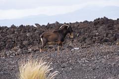K3_P2863-sRGB (mountain_akita) Tags: hawaii waikoloa feral goat lava waikoloavillage unitedstates us