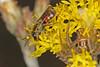 Bee (Lasioglossum Parasphecodes Sp.) and Spider IMG_9505AA (Kool bee) Tags: australiannativebees ballandean bees unid spider yellowbutton chrysocephalumapiculatum