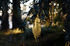 (evisdotter) Tags: light lav lichen moss macro bokeh nature sooc autumn