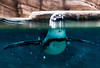 Kobe Penguin (Stuck in Customs) Tags: japan kobe 80stays rcmemories treyratcliff stuckincustoms stuckincustomscom penguin bird swim swimming pool water blue underwater aurorahdr hdr hdrtutorial hdrphotography hdrphoto