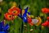 Floriade 2017 (Theresa Hall (teniche)) Tags: australia canberra floriade floriade2017 teniche theresa theresahall color colorful colour colourful flower flowers pretty sunshine tulip tulips nikond750 spring springtime dayout niceday nikon capture