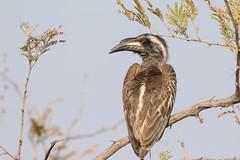 African Grey Hornbill (Janis May) Tags: africanbird africangreyhornbill krugernationalpark