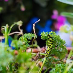 Caterpillar (Ennev) Tags: montréal québec canada ca hebs macro caterpillar insect