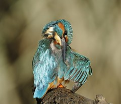 Male kingfisher (markyf50) Tags: