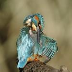 Male kingfisher thumbnail