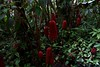 Hearts Free (Robert Cowlishaw (Mertonian)) Tags: rainforest thebigisland hawaii wonder awe ineffable robertcowlishaw purepassion canonpowershotg7xmarkii markii g7x powershot canon bouquet exposed mertonian red green pushingout passion hearts forsophia