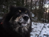 Snow is my drug (PhotoKaton) Tags: dog finnishlapphund snow forest nose cute cuteeyes fluffball
