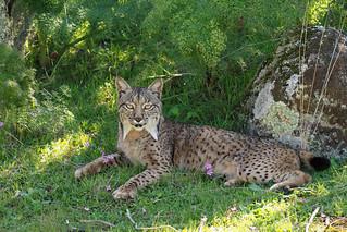 Female Iberian Lynx (Lynx pardinus), La Lancha, Parque natural de la Sierra de Andújar, Andalucía, España