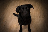 Riley (Jim Hughes Photography) Tags: pets animals dogs god passion loyalty devotion black furr friend beautiful eyes ears tail