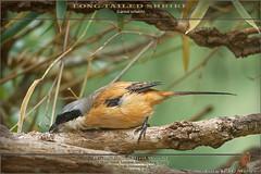 20171120-_5007393-SHRIKE-Long-tailed-1400 (guy.miller) Tags: longtailed shrike birds lamma hk hong kong guy miller
