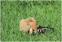 Sunbathing pose of the Hoopoe (Upupa epops) - De hop is aan het 'zonnen' ... (Martha de Jong-Lantink) Tags: 2017 canaryislands grancanaria hoopoe hop maspalomas spanje sunbathing sunbathingpose upupaepops zonnen bird vogel