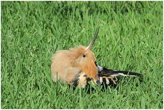 Sunbathing pose of the Hoopoe (Upupa epops) - De hop is aan het 'zonnen' ...