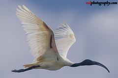 Vedanthangal Bird Sanctuary, India (rvk82) Tags: 2017 birdsanctuary birds india nikkor200500mm nikond850 november2017 rvk rvkphotography raghukumar raghukumarphotography southindia tamilnadu vedanthangal vedanthangalbirdsanctuary wildlife rvkonlinecom rvkphotographycom in