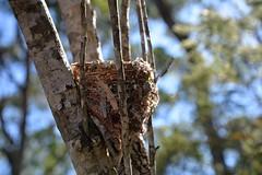 Empty Nest (John Panneman Photography) Tags: easternyellowrobin eopsaltriaaustralis robin nest empty bird wild ulladulla headland shoalhaven nsw panneman nikon d610