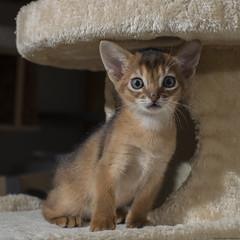 Kittens Week Seven 17 (peter_hasselbom) Tags: cat cats kitten kittens abyssinian 7weeksold 50mm flash 2flashes ledlight ruddy usual