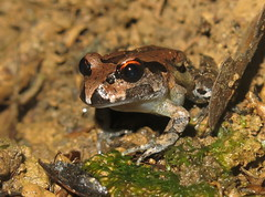 Stuttering Barred Frog (Mixophyes balbus) (Heleioporus) Tags: stuttering barred frog mixophyes balbus midnorth coast new south wales