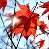 autumn in the maple tree (Bernergieu) Tags: red leaf maple mapleleaf light 7dwf 7dwffridaysflora