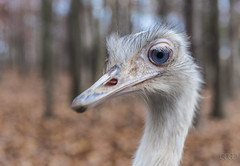 Ostrich (lgflickr1) Tags: 2009 amimals naturalbridge virginia ostrich fall autumn closeup eye look nature curious stare blue blueeyes beak