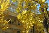 Con la fachada a juego (Micheo) Tags: granada spain ginkgo amarillo yellow jaune arboles otoño autumn fall brillo magia encanto luz light alegria