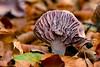_DSC0056 Rodekoolzwam /  the Amethyst deceiver (Gert-Paassen) Tags: nederland staphorst overijssel niederlande netherlands amethistzwam laccaria macro nikon nikkor nikor 105mm fungi mushroom amethyst deceiver natuur nature