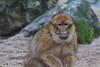 Berberaap (maclapt0p) Tags: ouwehandsdierenpark rhenen animals netherlands nederland
