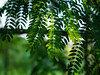 P1030662 (LIGHTSEDWIN) Tags: 葉 leaf green taiwan
