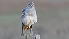 Harrier (photosauraus rex) Tags: harrier male grayghost hawk raptor bird vancouver bc canada northernharrier circuscyaneus