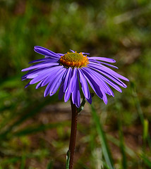 Disc on the stem (МирославСтаменов) Tags: russia asteraceae aster blooming inflorescence flower plant