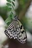 Ricepaper butterfly (Rene Mensen) Tags: ricepaper nikon macro rene mensen wildlands zoo glasshouse d5100 dierentuin dierenpark insect butterfly wings
