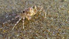 ghost crab (sculptorli) Tags: crab ocypode pallidula colva goa india sand ghostcrab 螃蟹 蟹 cangrejo केकड़ा गोवा इंडिया मैक्रो خرچنگ سلطعون غوا 果阿 caranguejo 印度 inde индия краб الهند macro beach plage pláž sands seashore crabe sable lessables sabbie rena granchio granchiofantasma समुद्रतट пляж отмель cof035mark cof035mari cof035dmnq