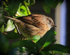 Dunnock (denisekennedy) Tags: dunnock birdsofafeather dublin nature wildlife ireland canon photography winter