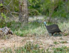 Guinea Fowl (Shorefish2011) Tags: guineafowl kambakulodge southafrica