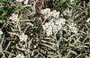 Plants_OB_193 (NRCS Montana) Tags: anaphalis margaritacea western pearly everlasting plants