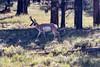 Pronghorn. (deepskywim) Tags: zoogdieren dieren gaffelbok pronghorn bryce utah unitedstates us
