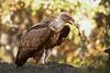 Espaguetis (Nicolás Merino) Tags: buitreleonado gypsfulvus griffon vulture canon 1d markiv f4 200400 bird wildlife nature otoño
