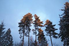 Finland 100 years old (Olli Tasso) Tags: finland suomi pine tree sunshine sunlight bluesky sunset auringonlasku suomi100 mänty maisema landscape scenery metsämaisema metsä forest winter snow lumi talvi december joulukuu joulukuun6 independenceday itsenäisyyspäivä
