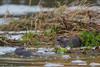Disagreement between Otters (2 of 3) (Robin M Morrison) Tags: otter otters riverstour dorset quarrelsome quarrel