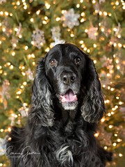 49/52 - Sammy 2017 (conniegavin12) Tags: 52weeksfordogs fieldspaniel spaniel dog pet christmas