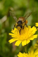 Head On. (m&em2009) Tags: bee insect bug flower weed yellow nikon macro closeup daisy