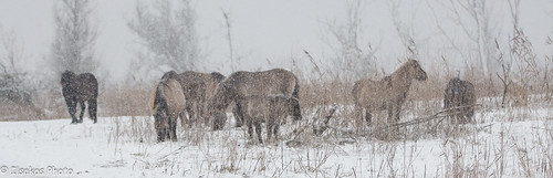 konick horses in the snow @oostvaardersplassen