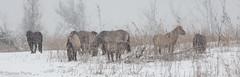 konick horses in the snow @oostvaardersplassen