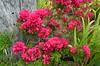 DSC_8135 Bougainvillea, Miner's Cottage garden, Moonta Mines, South Australia (johnjennings995) Tags: bougainvillea moontamines southaustralia australia flowers