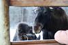 207 (mitthimlavalv) Tags: moose winter newbie sweden nordic wildlife wild animal animals cute adorable