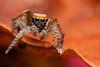 One to One (Jerome Picard) Tags: salticidae saltique sauteuse arthropod arthropoda araignée jumpingspider araignéesauteuse france fr saitis barbipes greeneyes macro