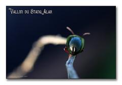 Vallon du Stangalard 2017 - Crepidodera aurea verte (porte-plume) Tags: stangalard stangalar brest