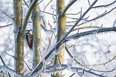 Dendrocopos major (nonnogrizzly) Tags: dendrocoposmajor picchio pichhiorossomaggiore bosco natura fauna uccello aves