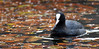 Coot (F VDS) Tags: bird swimming pond autumn d500 nikon sonian forest leaves