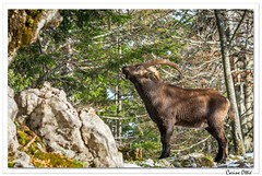 De profil, beau également ! (C. OTTIE et J-Y KERMORVANT) Tags: nature animaux mammifères bouquetins bouquetindesalpes capraibex montagnessuisse